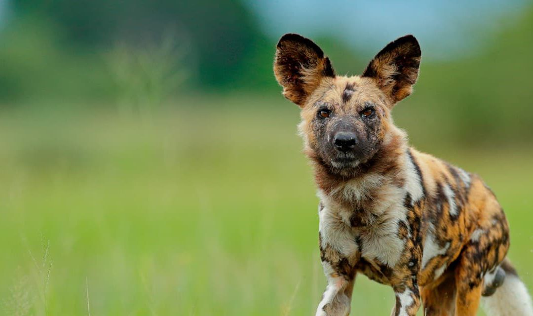 Botswana Wild Dog Research Project