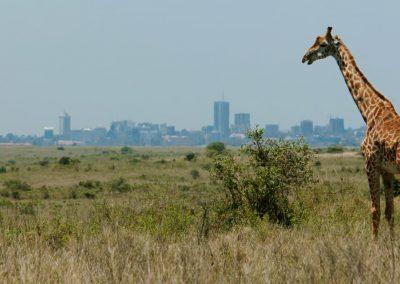 Giraffe near a city