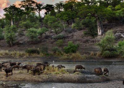 Buffalo at river crossing