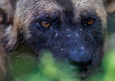 Wild dog close up