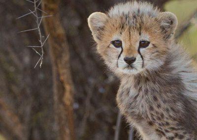 hero-img-cheetah