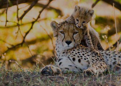 hero-img-cheetah-mother