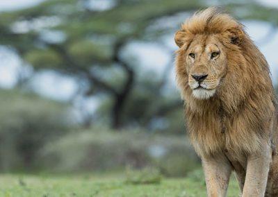 hero-img-lion