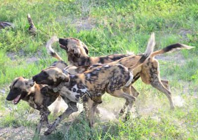 Secret life of wild dogs
